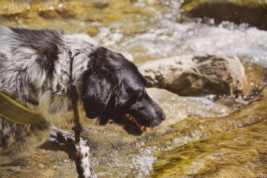 Mika nimmt ein kleines Erfrischungsbad im Steinbach auf dem Weg zum Zwiesel.