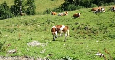 Kühe obere Firstalm Spitzingsee