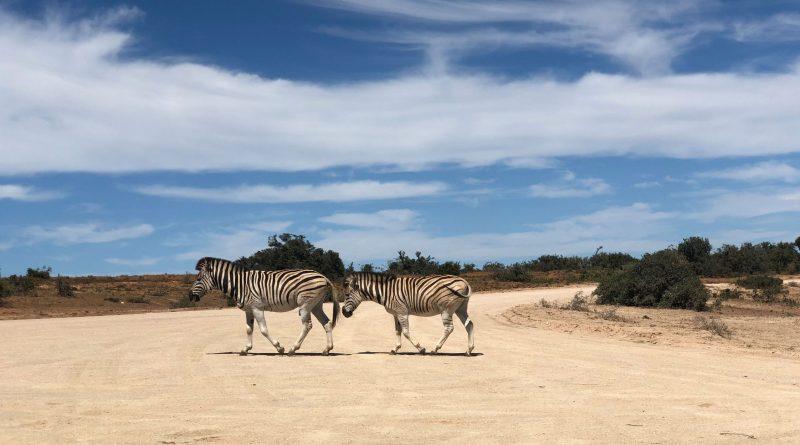 Zebra_Südafrika