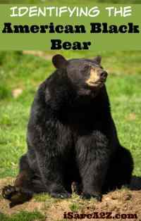 Identifying the American Black Bear - Country Living Tips ...