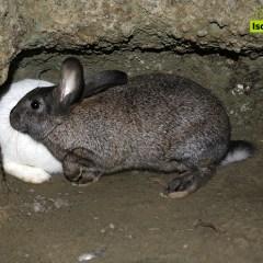 Coniglio di fosso, antica tradizione ischitana