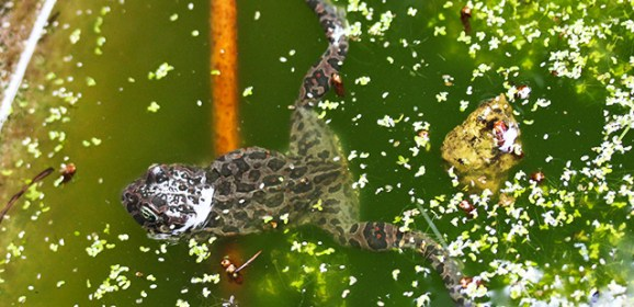 Il rospo smeraldino, patrimonio faunistico dell'isola d'Ischia