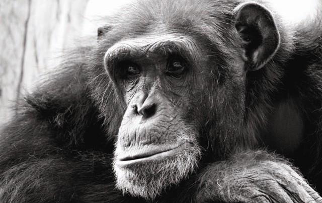 counting_chimp_main