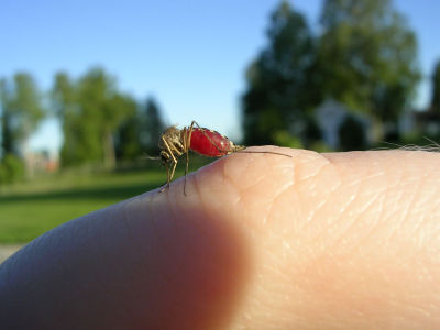 mosquito full  Ragnhild Brosvik