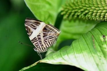 Zebra mosaic butterfly