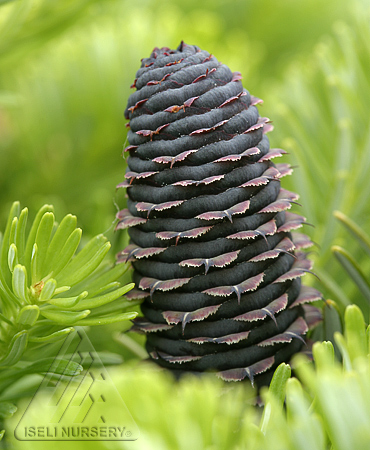 Abies koreana 'Green Carpet' purple cone