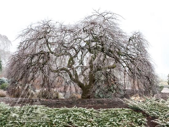 Acer palmatum dissectum 'Ever Red'