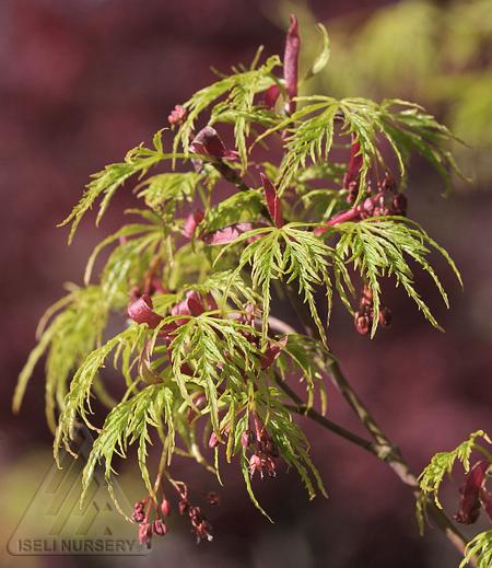 Acer palmatum dissectum 'Seiryu'