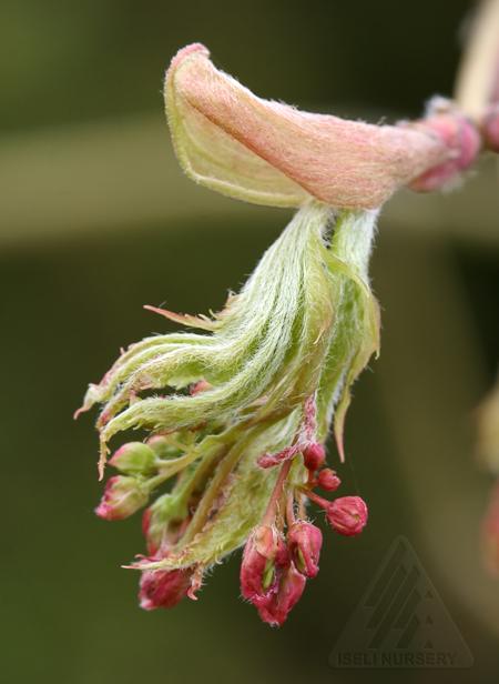 Acer x pseudosieboldianum 'Arctic Jade'