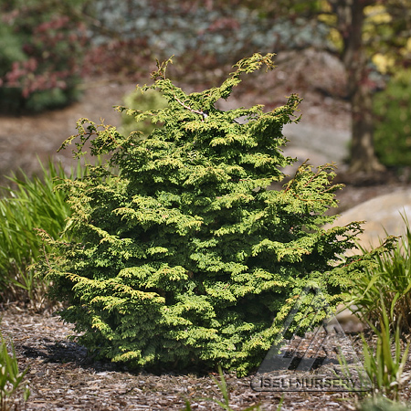 Chamaecyparis obtusa 'Little John'