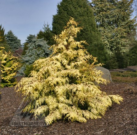 Chamaecyparis obtusa 'Sunlight Lace'