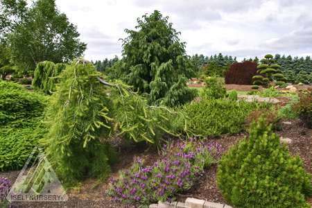 Conifers and Lavender