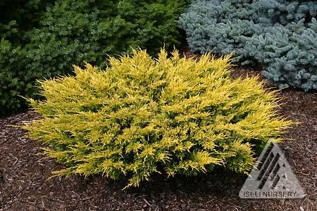 Juniperus horizontalis 'Limeglow'™