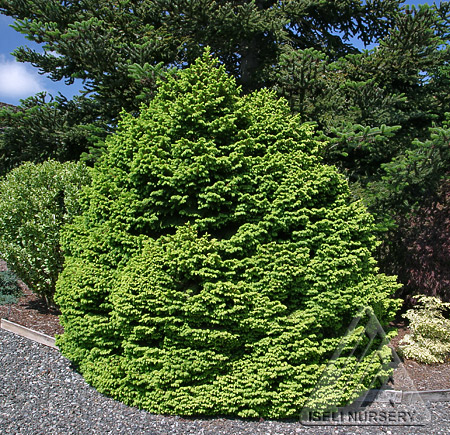Picea abies 'Witches Brood'