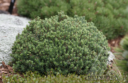 Picea glauca 'Blue Planet'