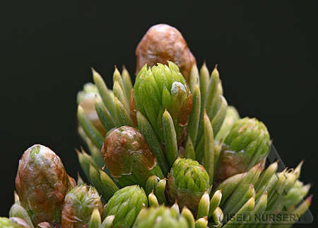 Picea glauca 'Pixie Dust'
