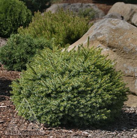 Picea omorika 'Minima'