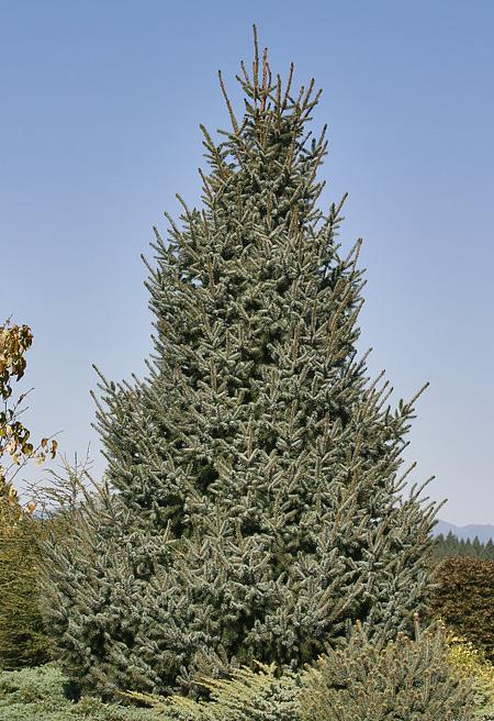 Picea omorika 'Silberblue'