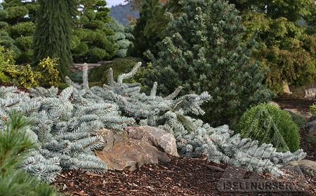 Picea pungens 'Procumbens'