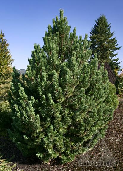 Pinus mugo 'Tannenbaum'