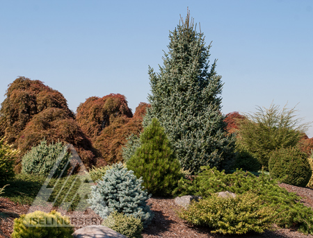 The early autumn conifer garden