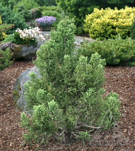 Sequoiadendron giganteum 'Little Stan'