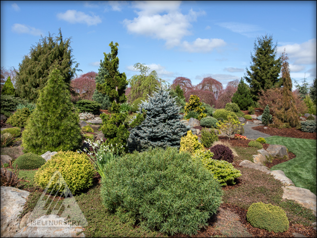 first conifers - photo #5