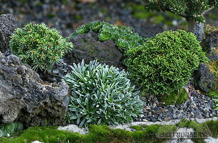 Miniature conifers and companions