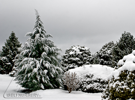 Snowy Conifer Garden