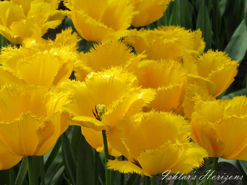 Primavera holandesa en el parque más grande de tulipanes: el Keukenhof