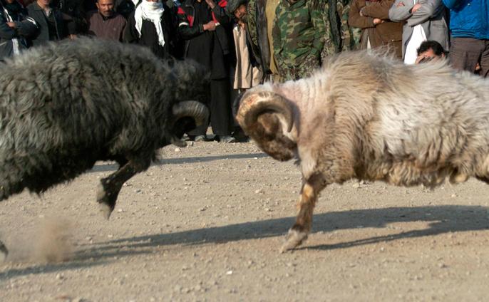 Algrie  Quand le combat de mouton devient un sport national   Insolite   IslamInfo