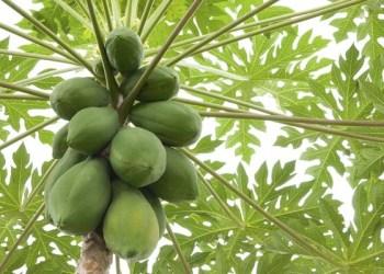 Foto: Backyard Fruit