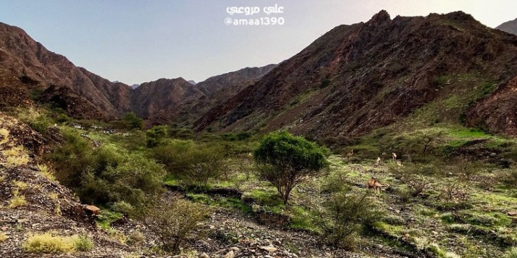 Lembah Tayeh di Saudi mennghijau. Foto: Alarabiya