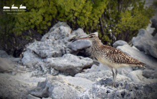 Bristle-thighed Curlew, native to French Polynesia.