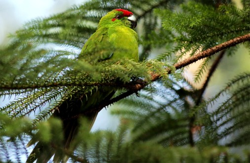 island-conservation-green-parrot-norfolk-island-ray-nias-gallery-3