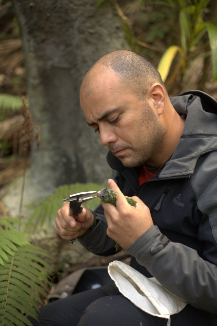 Luis Ortiz-Catedral measuring Norfolk Island Parakeet