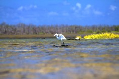 A Reddish Egret hunting in the pond on Booby Cay