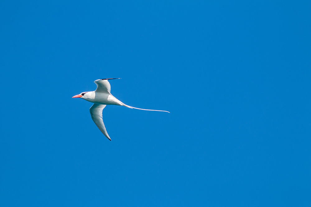 Red-billed tropicbird. Credit: Ed Marshall
