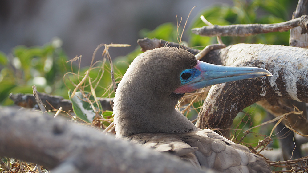 Red Footed Booby nesting in Ficus Tree close-up. Credit: Salina Janzan_FFI
