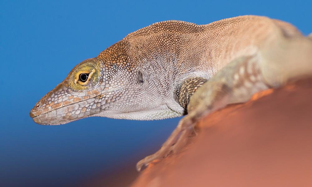 Redonda tree lizard. Credit: Ed Marshall