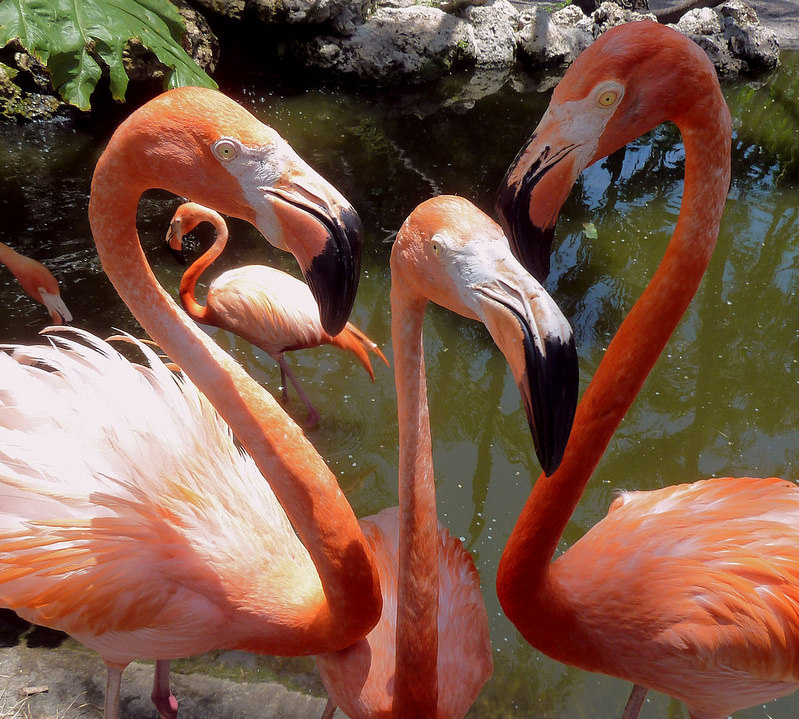 There are two parts to the chemistry that makes a Flamingo pink; the carotenoids in the food that provide the pigments, and the specific enzymes produced by the species which utilize those pigments, providing its brilliant pink color. Photo by: PelicanPete flic.kr/p/nEtqsL