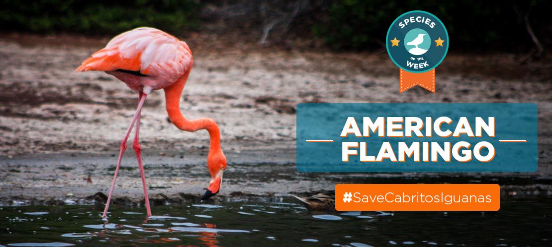 Island Conservation science cabritos isla island science dominican republic flamingo