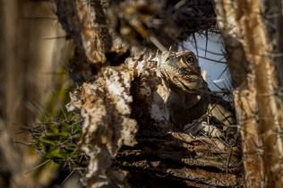 Island conservation science cabritos island dominican republic ricords iguana