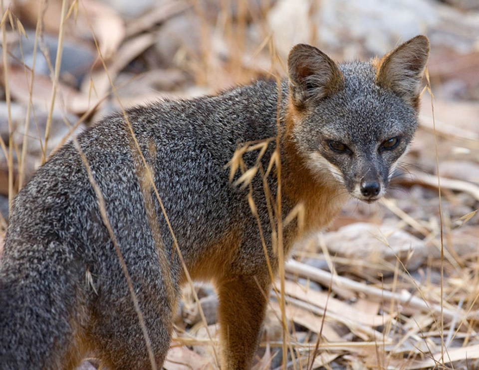 Island-conservation-science-channel-islands-fox-2