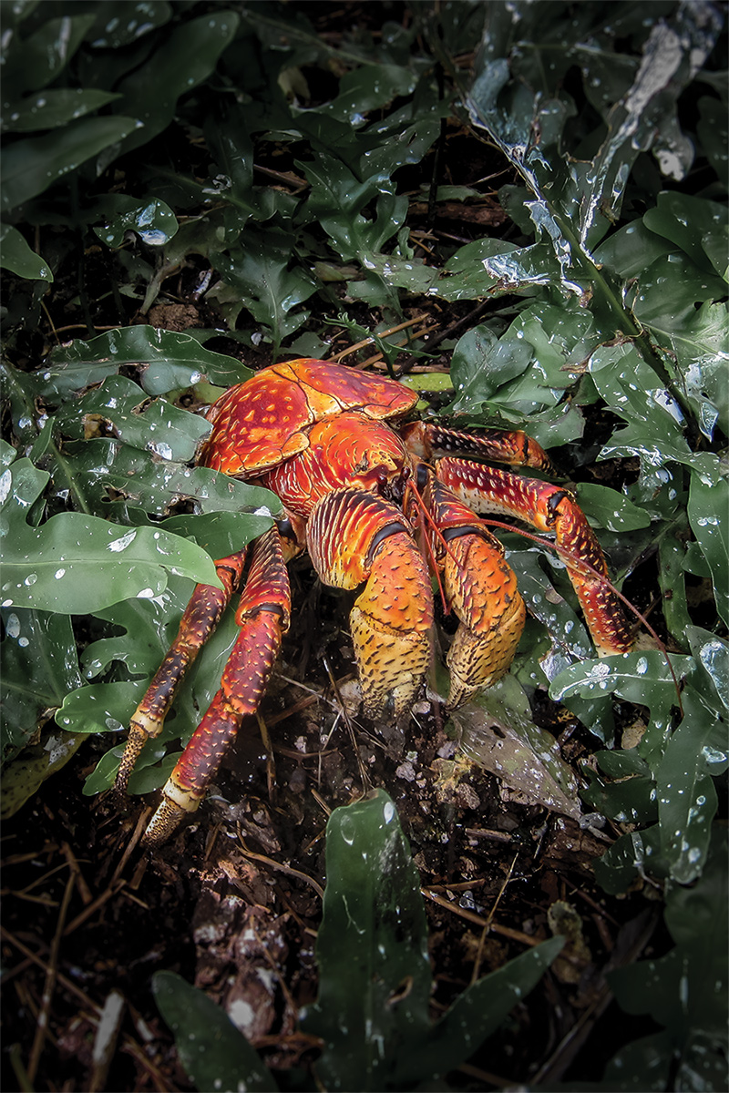 Island conservation science coconut crab