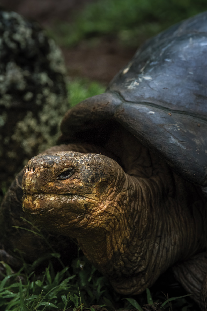 Island Conservation science giant tortoise