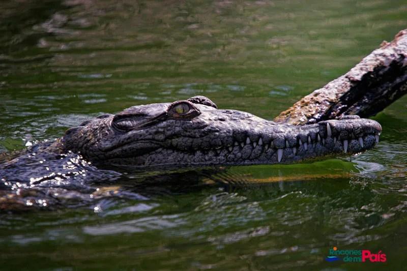 island conservation science cabritos island american crocodile