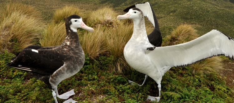 Island conservation science antipodean albatross antipodes island new zeland albatross