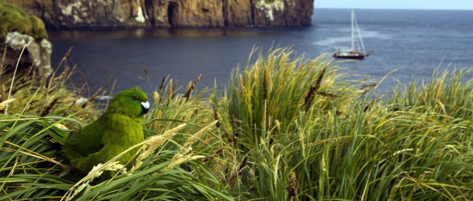 Antipodes Island Parakeet with boat in the distance, J Russell