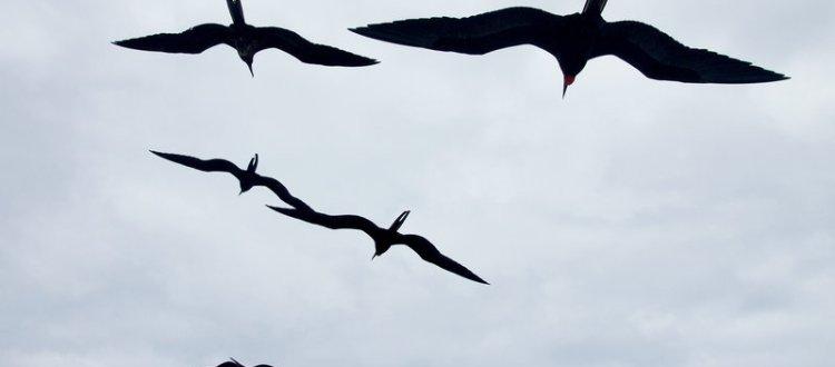 Frigatebirds in Flight